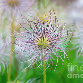 Tim Gainey -  Pasqueflower Seed Heads