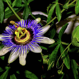 George Bostian - Passion Flower And Pod 002