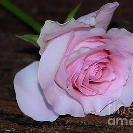 Pastel Pink Rose by Kaye Menner