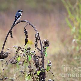 Liz Masoner - Pastoral Scene Bird on Sunflower