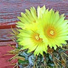 Joyce Dickens - Patio Cactus