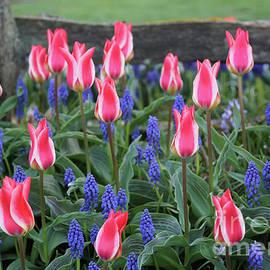 Carol Groenen - Patriotic Tulips 2