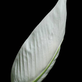 Judy Whitton - Peace Lily #4