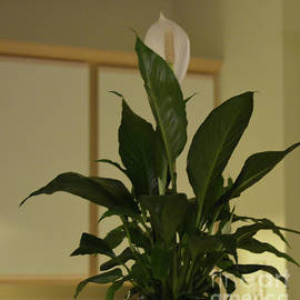 Ruth Housley - Peace Lily