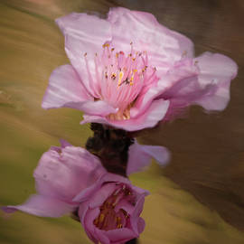 Peach Blossom Through Glass by David Waldrop