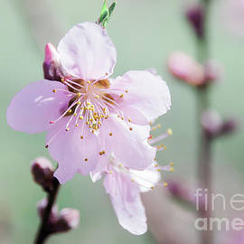 Peach Blossoms 5 by Andrea Anderegg
