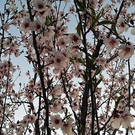 Peach Blossoms by Diamante Lavendar