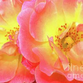 Peach Drift Roses by Regina Geoghan