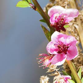 Luca Rossatti - Peach flower