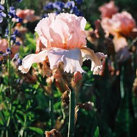 Steve Karol - Peach iris