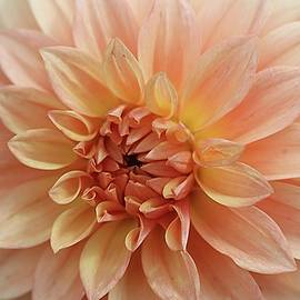 Monnie Ryan - Peach of a Dahlia