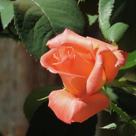 Brooks Garten Hauschild - Peach Perfection - Rose - Beauty in the Garden