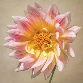 Patti Deters - Peachy Pink Dahlia Close-up