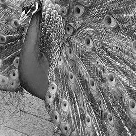 YT Photo - Peacock in Black and White