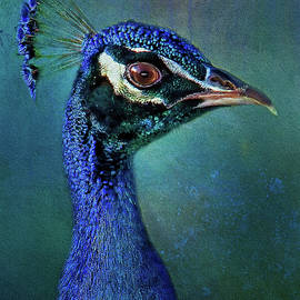 HH Photography of Florida - Peacock Portrait