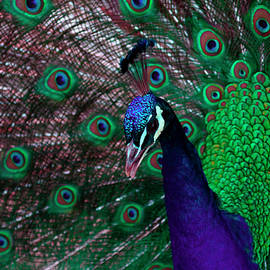Peacock Portrait by Sally Weigand