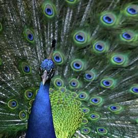 Sabrina L Ryan - Peacock