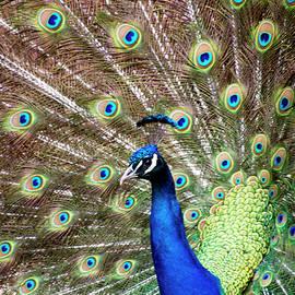 Peacock by Sandi Kroll