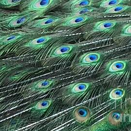 Peacock Tail Feathers by Patty Vicknair
