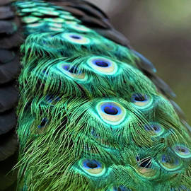 Peacock's spotted tail feathers by Enrique Mendez