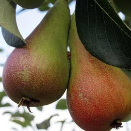 Pears by Vesna Martinjak
