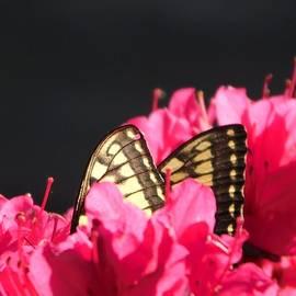 Peek - A - Boo Butterfly - 1 by Arlane Crump