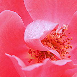 Arlane Crump - Peek- A-Boo Rose