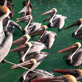 Pelican Choir Rehearsal by Karen Wiles