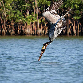 Pelican Dive by Dawn Currie