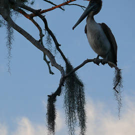 Pelican in a Tree by Jeanne  Woods
