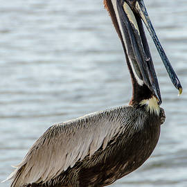 Pelican Of Lantana by Wolfgang Stocker