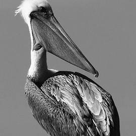 Moore Northwest Images - Pelican Portrait