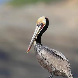 Pelican resting by Bryan Keil