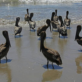 James Connor - Pelicans Getting Ready To Take a Swim At Playa Manzanillo