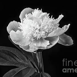 Sharon McConnell - Peony Black and White