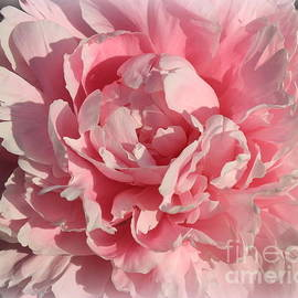 Dora Sofia Caputo Photographic Design and Fine Art - Peony Dreamy in Pink