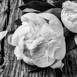 Peony On Old Boards In Black And White - Garry Gay