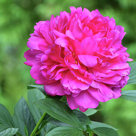 Pink Double Peony Natural by Isabela and Skender Cocoli