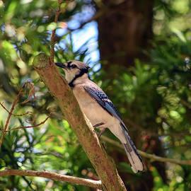William Tasker - Perched Blue Jay