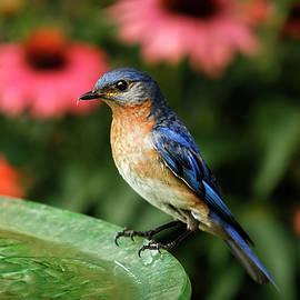 Darren Fisher - Perched Eastern  Blue Bird