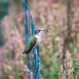Elizabeth Ann - Perched Hummingbird