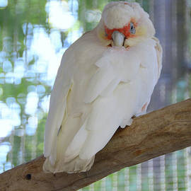 Debby Pueschel - Perched Parrot