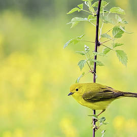 Perched Yellow Warbler by John Vose