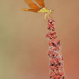 Perching Amberwing dragonfly  by Ruth Jolly