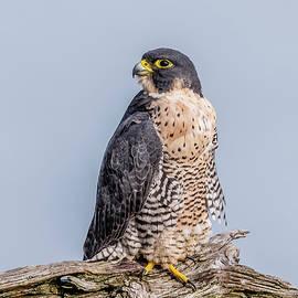 Morris Finkelstein - Peregrine Falcon On Perch