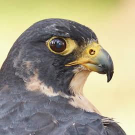 Jim Hughes - Peregrine Falcon portrait