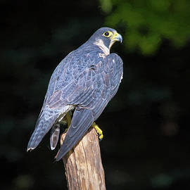 Sharon McConnell - Peregrine Falcon Portrait