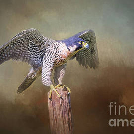 Peregrine Falcon Taking Flight by Sharon McConnell