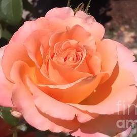 Lynn Michelle - Perfection - Rose