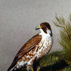 Perigrine Falcon With Eggs by Frank Wilson